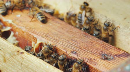 hive : Life inside a bee hive. Bees work on frames with honey