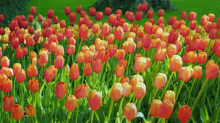 lavanda : Red and orange tulips against a green lawn background. The famous Keukenhof park in the Netherlands