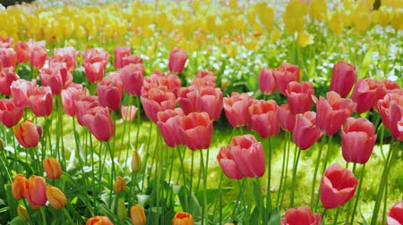 burgundia : Orange and burgundy tulips are beautifully lit by the sun Stock mozgókép