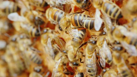 hive : Bees work on honeycombs, videos with shallow depth of field