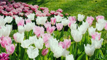нечеткий : Shaggy multicolored tulips grow in the indistinct park of the Netherlands