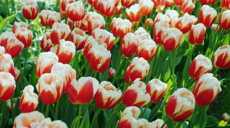 laleler : One of the symbols of the Netherlands is the tulip. Beautiful flowerbed with red and white tulips
