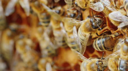 bienenwachs : Colony of bees at work in the hive. Useful Products and Alternative Medicine Concept. 4K 10 bit video