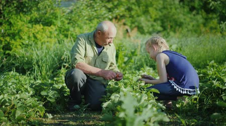ищу : An elderly man with his granddaughter collects strawberries in the garden. Active senior people concept Стоковые видеозаписи