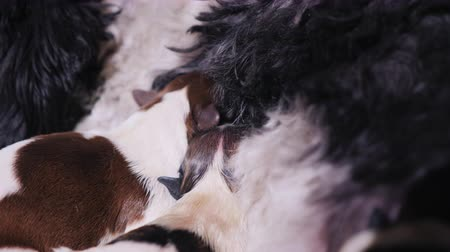 chupar : Two newborn puppies eat mothers milk. Feeding babies pets Stock Footage