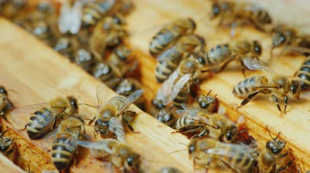 hive : Colony of bees works in a hive on wooden frames Stock Footage