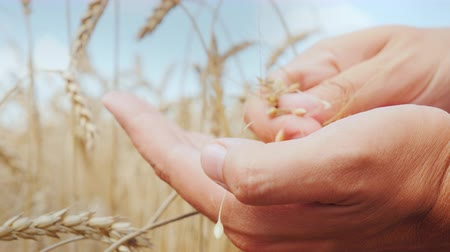agronomist : The farmers hands carefully study the spikelets and grains of wheat on the field Stock Footage