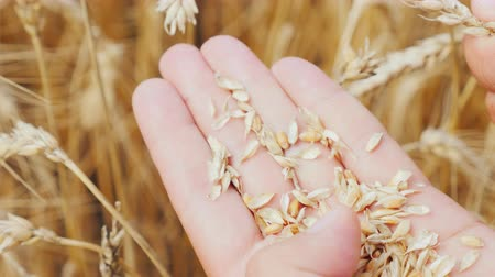agronomist : Male hands examine the ears of corn and wheat on the field. The farmer takes care of his harvest