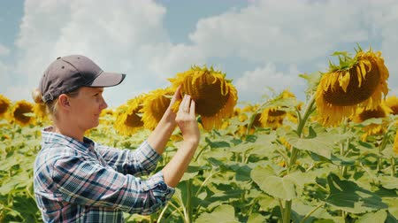 подсолнухи : A woman farmer is studying the sunflower flower carefully. Home farm, organic products