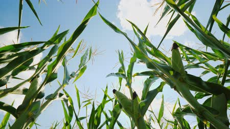 crescimento : High stalks of corn stretch towards the sun, the lower angle of photography Stock Footage