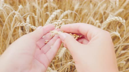agronomist : Female hands examine the ears of corn and wheat on the field. The farmer takes care of his harvest. POV video