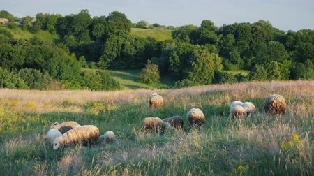 пастораль : A small herd of sheep grazing in a picturesque place near the forest