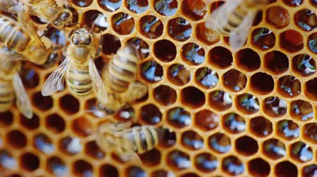 hive : The bees work at the hive on the honeycomb.