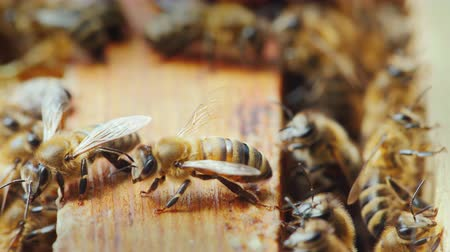 hive : On the wooden frame of the bee hive, many bees gathered to create wax and honey
