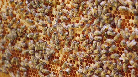 hive : A friendly bee family makes combs of wax, chaotically creep along the wooden frames inside the hive Stock Footage