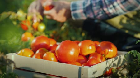 bahçıvan : The worker collects tomatoes in the field, puts them in a wooden box. Fresh organic products
