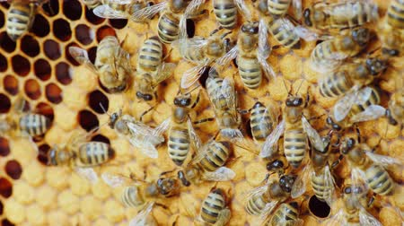 hive : Colony of bees working in a hive Stock Footage