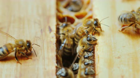 hive : A close-up of a bee family at work, chaotic motion over wooden frames inside the hive