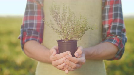 timo : The male hands of the farmer hold a pot of thyme plant. Growing spices