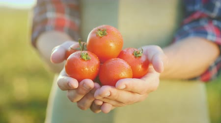 objektiv : The farmers hands hold juicy red tomatoes. Fresh vegetables from farming Dostupné videozáznamy