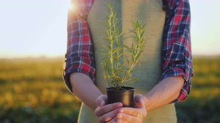 agricultores : The farmers hands hold a pot of rosemary plant. Greens and spices in food