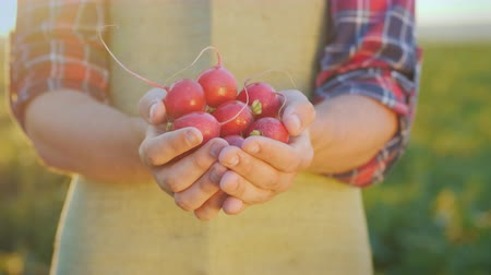avuç : The farmer is holding a handful of radish. Fresh organic vegetables from the farm