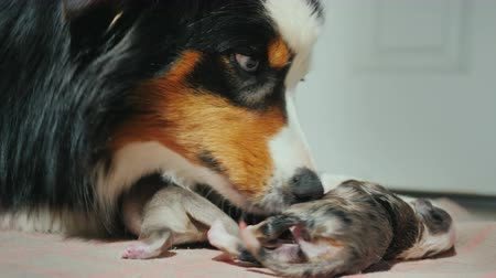 striving : Portrait of an Australian Shepherd, gently licks a newly born puppy. Care for the offspring