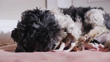 striving : The dog lies about two newborn puppies