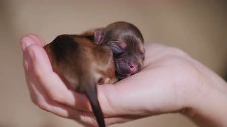 av köpeği : Newborn puppy of brown color. Curled in a ring and lies on the palm of your hand