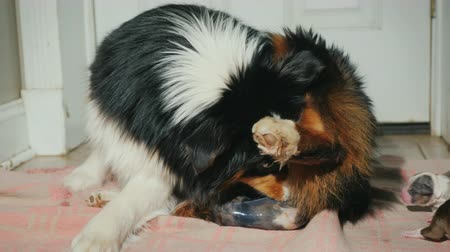 striving : Australian Shepherd gives birth to a puppy