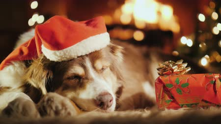temas animais : A sweet dog is sleeping near his Christmas present, in the background is a Christmas tree and a fire is burning in the fireplace. All meet Christmas and New Year Vídeos