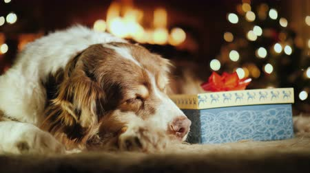 cachorro : The dog receives a gift for Christmas. Lies by the tree and fireplace, the hand puts next to her a beautifully wrapped box with a bow