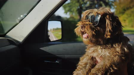 varoşlarda : Funny brown dog in sunglasses rides on the hands of the owner. Ride with a pet in the car Stok Video