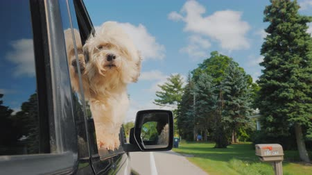 favori : The dog looks out of the window of the car in motion. In the rearview mirror you can see the driver. Pet Travel Stok Video