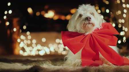 temas animais : Cute dog with a red bow sees by the fireplace. Christmas theme with animals Vídeos