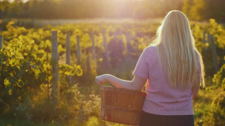 viticultura : Rear view: Attractive woman with a basket walks through the vineyard in the sun