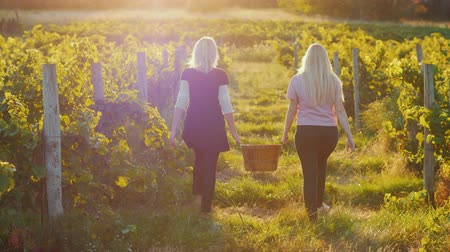 pincészet : Rear view: Two young women carry a basket of grapes, go between the rows of vineyards at sunset. Harvesting and Organic Products Concept