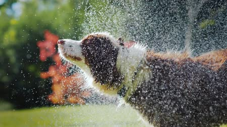 pies : Drenched Australian Shepherd shakes off water, splashes fly in all directions. Slow Motion Video Wideo