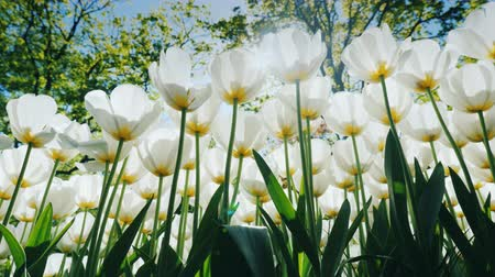 tulipany : Huge white tulips on a high stalk in the park. Bottom view