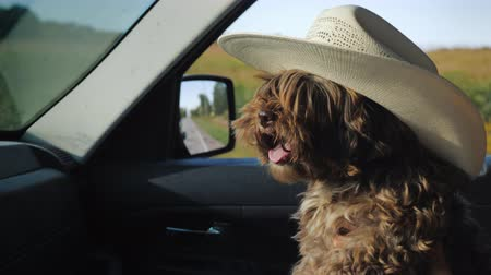 favori : A dog in a cowboy hat travels in the car next to the driver