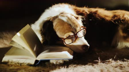 shepherds house : An elderly lady dog is dozing at an open book