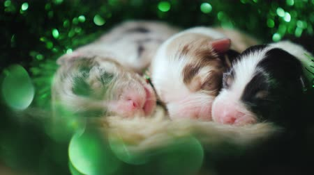 carelessness : Small newborn puppies sleep sweetly near a green garland Stock Footage