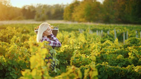 grape basket : Side view: Woman farmer with a basket of grapes goes along the vine Stock Footage