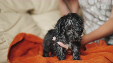 köpek yavrusu : Dry the black puppy after bathing. A small puppy is dried with a hair dryer