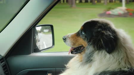 пригород : A solid shepherd dog travels on the passengers seat next to the driver