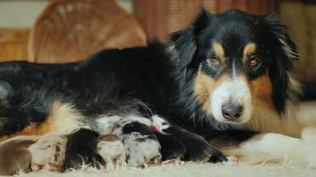 striving : The Australian Shepherd feeds its puppies. Angrily looks toward the camera