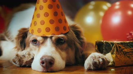 favori : Portrait of a cute birthday dog. In a festive cap lying around gifts