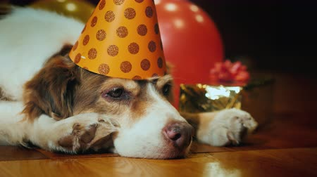 burn out : Side view: Portrait of a cute birthday dog. In a festive cap lying around gifts