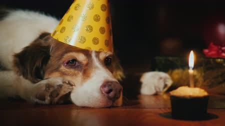 楽しんで : Portrait of a birthday dog looking at his birthday cake
