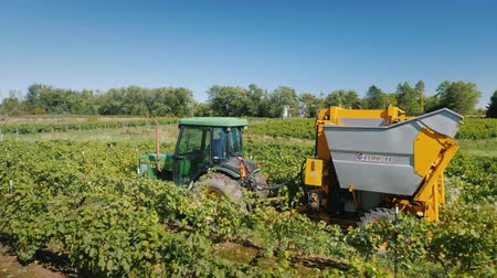 dag van de arbeid : Wilson, NY, USA, October 2018: Tractor pulls a mechanized grape harvesting machine through the vineyard Stockvideo